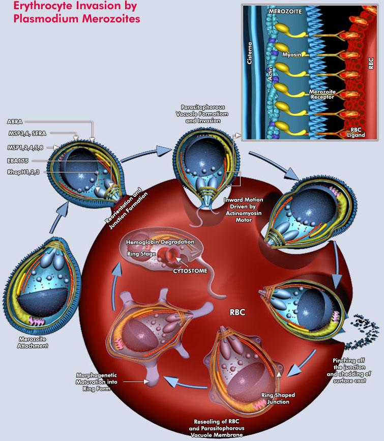 Erythrocyte_Invasion_by_Plasmodium_Merozoite